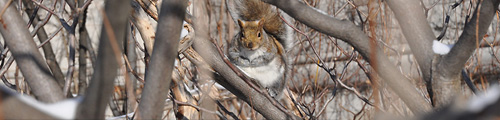 Local wildlife red squirrel in winter